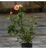 Augusta Luiseop stam in pot 60 cm.
