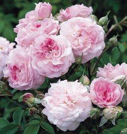 Rosemoor (in pot 4 liter)