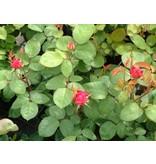 Sophy's Rose (in pot 4 liter)
