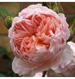 William Morris (in pot 4 liter)