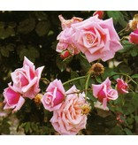 Blossomtime (in pot 4 liter)