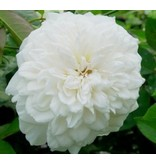 Colonial White (in pot 4 liter)