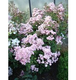 Heavenly Pink (in pot 4 liter)
