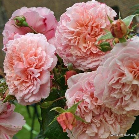 Rose de Tolbiac (in pot 4 liter)
