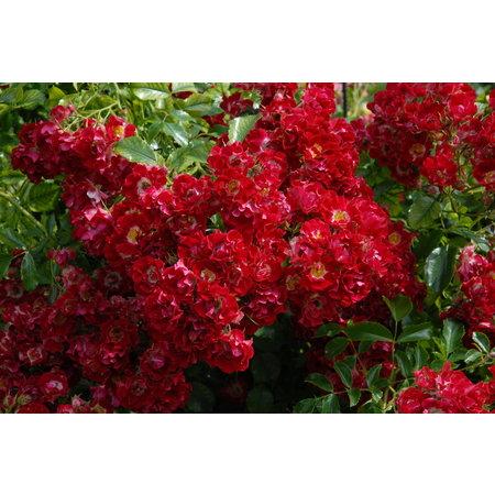 Rambling Rosy (in pot 4 liter)