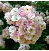 Apple Blossom (Kale wortel)