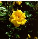 Allgold (kale wortel)