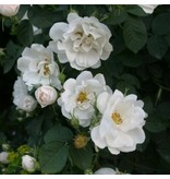 alba Semi-Plena (kale wortel)