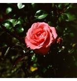 Bella Rosa (kale wortel)