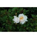 Crocus Rose  (kale wortel)