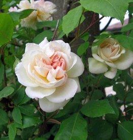 Desprez à Fleur Jaune