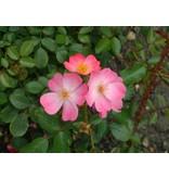 Fleurette (Kale Wortel)