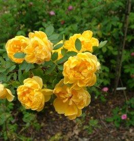 foetida Persian Yellow (kale wortel)