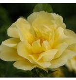 Gelbe Dagmar Hastrup (kale wortel)