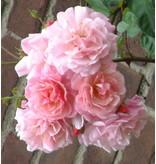Gerbe Rose (Kale wortel)