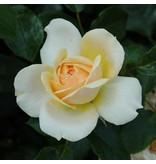 Garden of Roses  (kale wortel)
