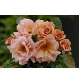 Julia's Rose (Kale wortel)