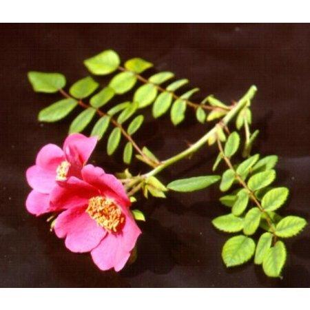 moyesii (kale wortel)