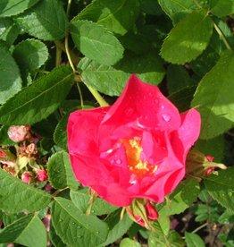 The Portland Rose (Kale wortel)