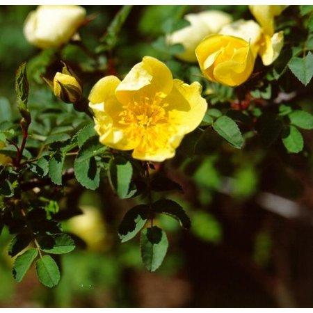 primula (kale wortel)