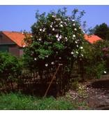 roxburghii Normalis