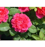 Sophy's Rose (kale wortel)
