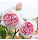 The Wedgewood Rose XXL