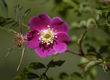 Botanische (Wilde roos)