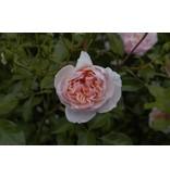 Anne Boleyn  (kale wortel)