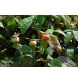 gallica 'Officinalis' (Kale wortel)