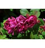 Rose des Maures