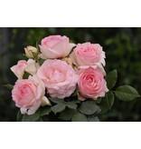 Eden Rose op stam 110 cm. (kale wortel)