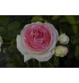 Eden Rose XXL