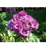 Rhapsody in Blue  op stam in pot 80 cm.