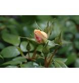 Lions Rose op stam in pot 110 cm.