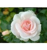 Aspirin Rose op stam 110 cm (kale wortel)