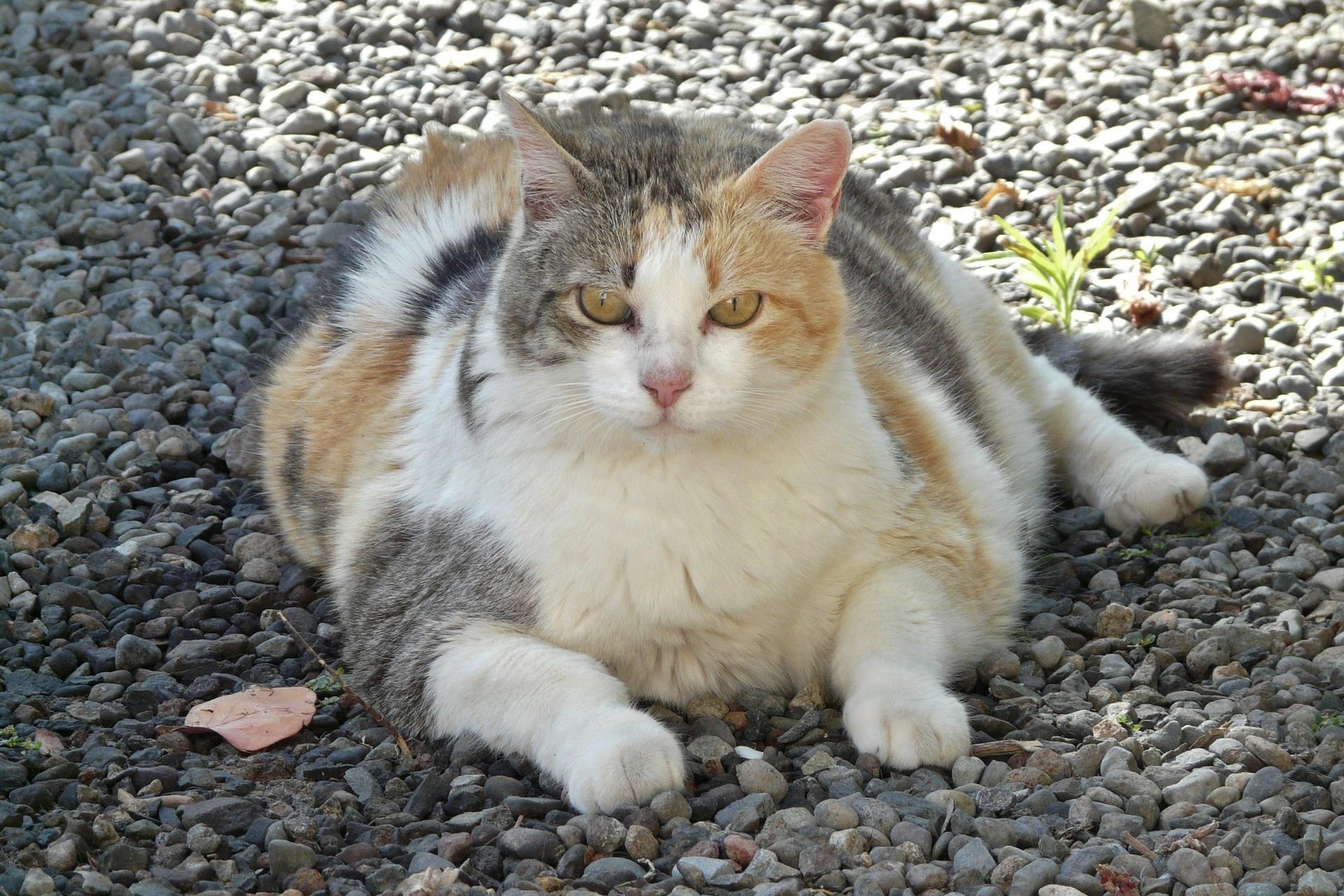 Help! Mijn kat is te dik