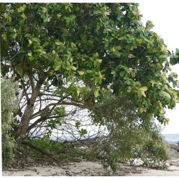 Biologische Calophyllumolie (Tamanu)