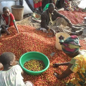 Sopacdi Cooperative Congo Coffee