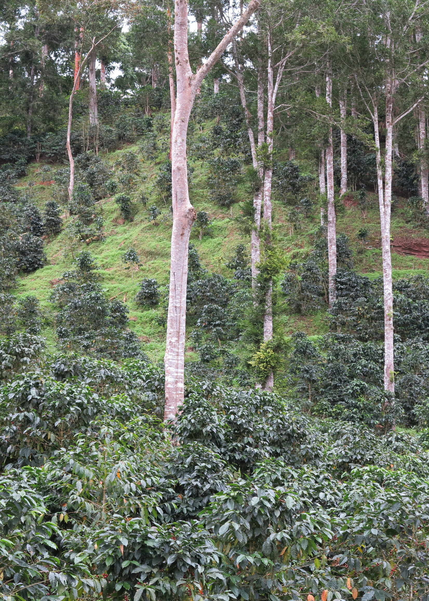 Tropical Mountain Organic Espresso
