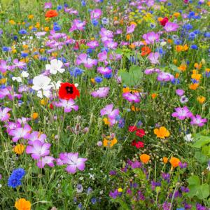 MRS Wildbloemenmengsel  1- en meerjarig