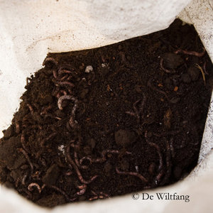 De Wiltfang  Compostwormen 0,5KG