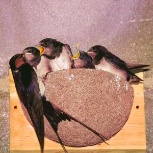 CJ Wildlife Boerenzwaluw Nestkast Merida