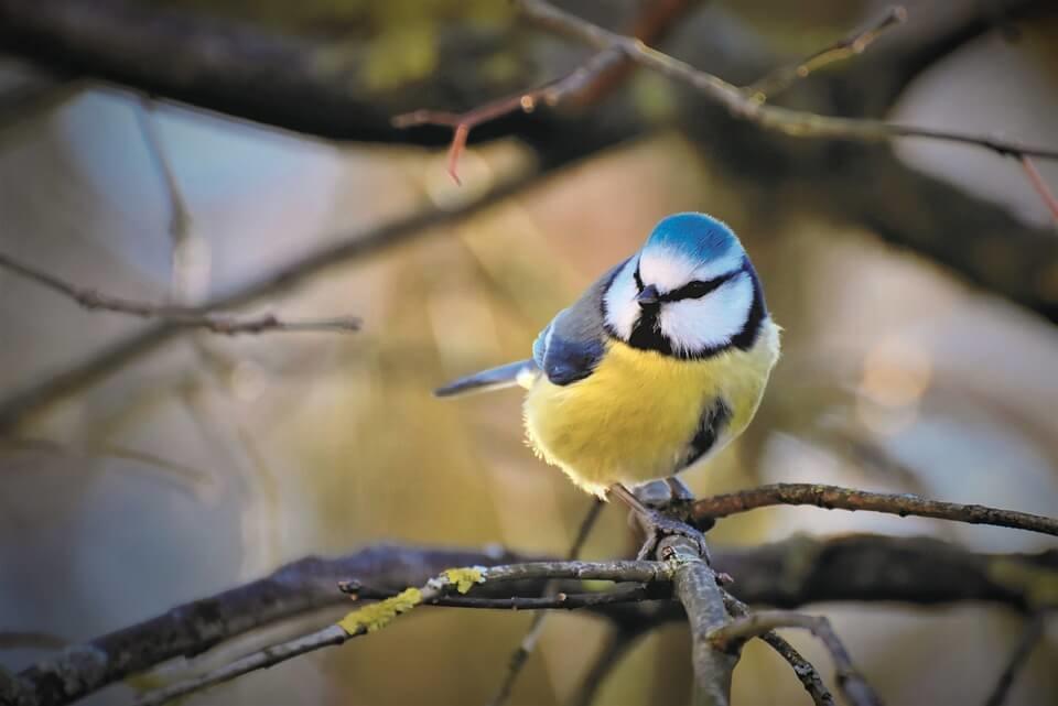 pimpelmees tuinvogel