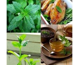 50 Semences Pour Les Plantes De Menthe Poivrée