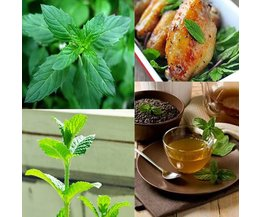 50 Seeds For Peppermint Plants