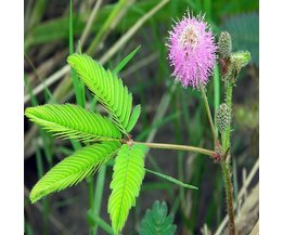 Mimosa Pudica / Sensitive Mimosa Seeds