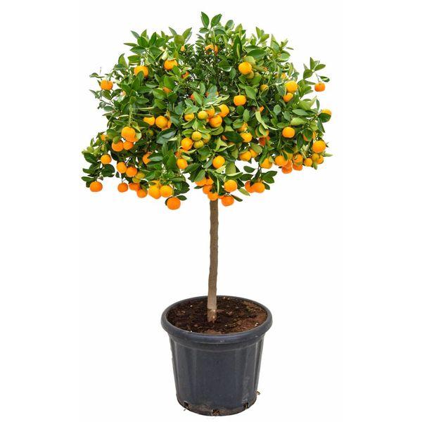 Sinaasappelboom Sinensis op stam XXL