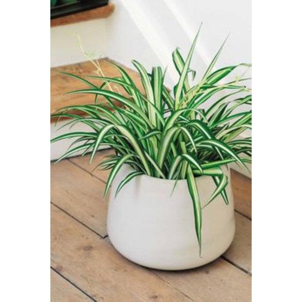 Vetplant Spider Ocean - Chlorophytum