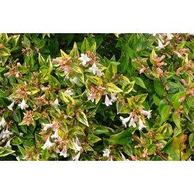 "Fleur.nl - Abelia Grandiflora ""Francis Mason"""